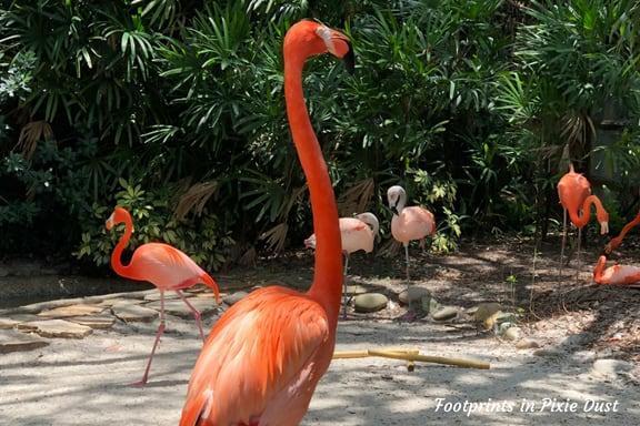 Flamingos at Busch Gardens Tampa Bay