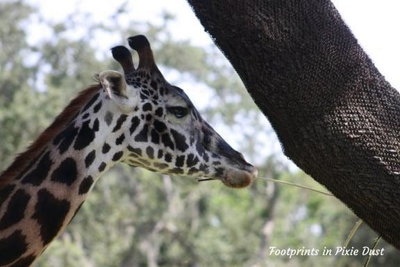 Giraffe on the savanna ~ Photo credit: Tina M. Brown