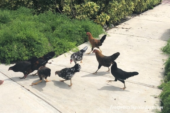 Chickens on Grand Cayman ~ Photo credit: Tina M. Brown