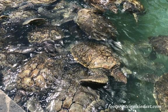 Green Sea Turtles ~ Photo credit: Tina M. Brown