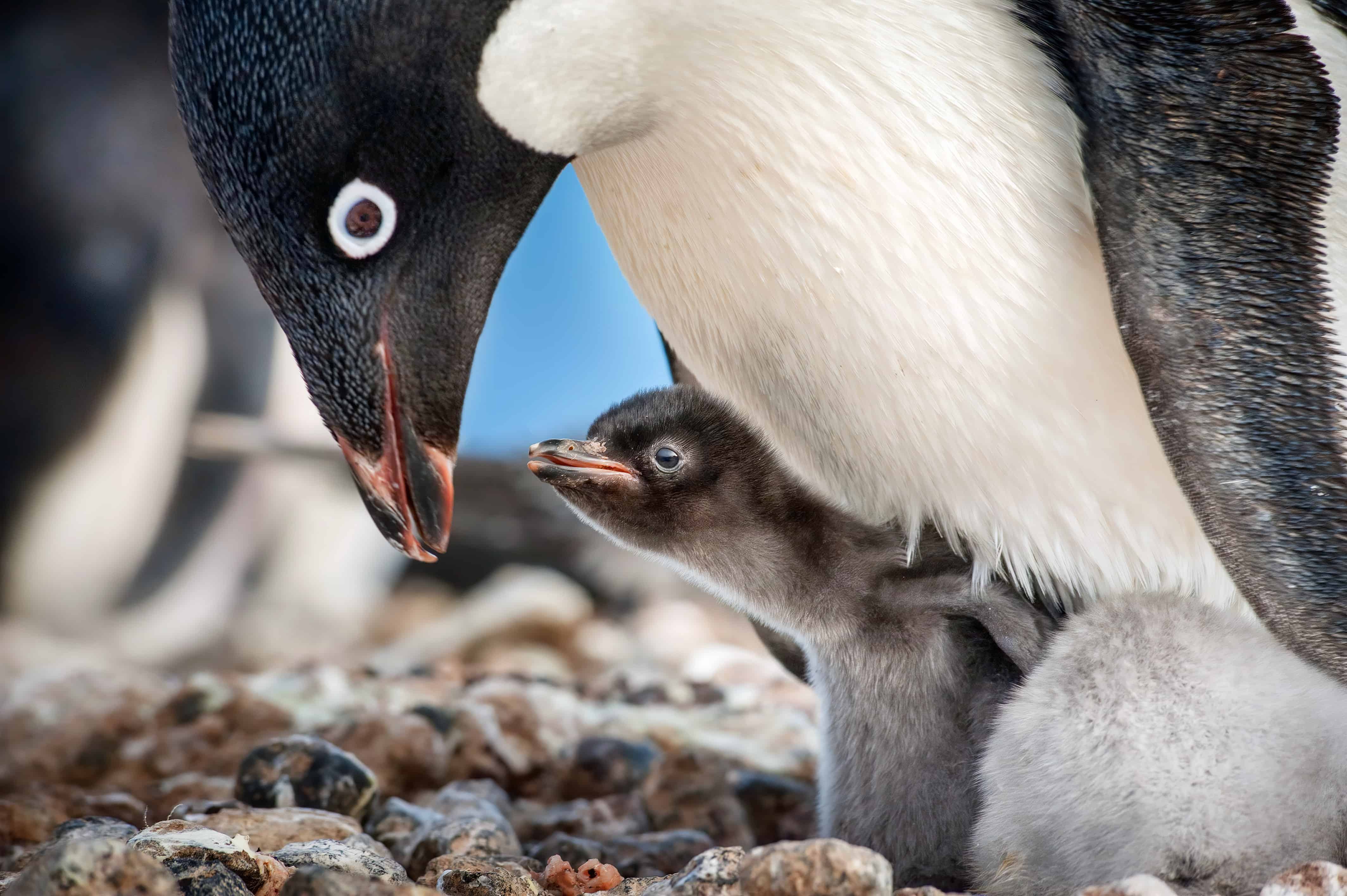 Adelie Penguins caring for their young.