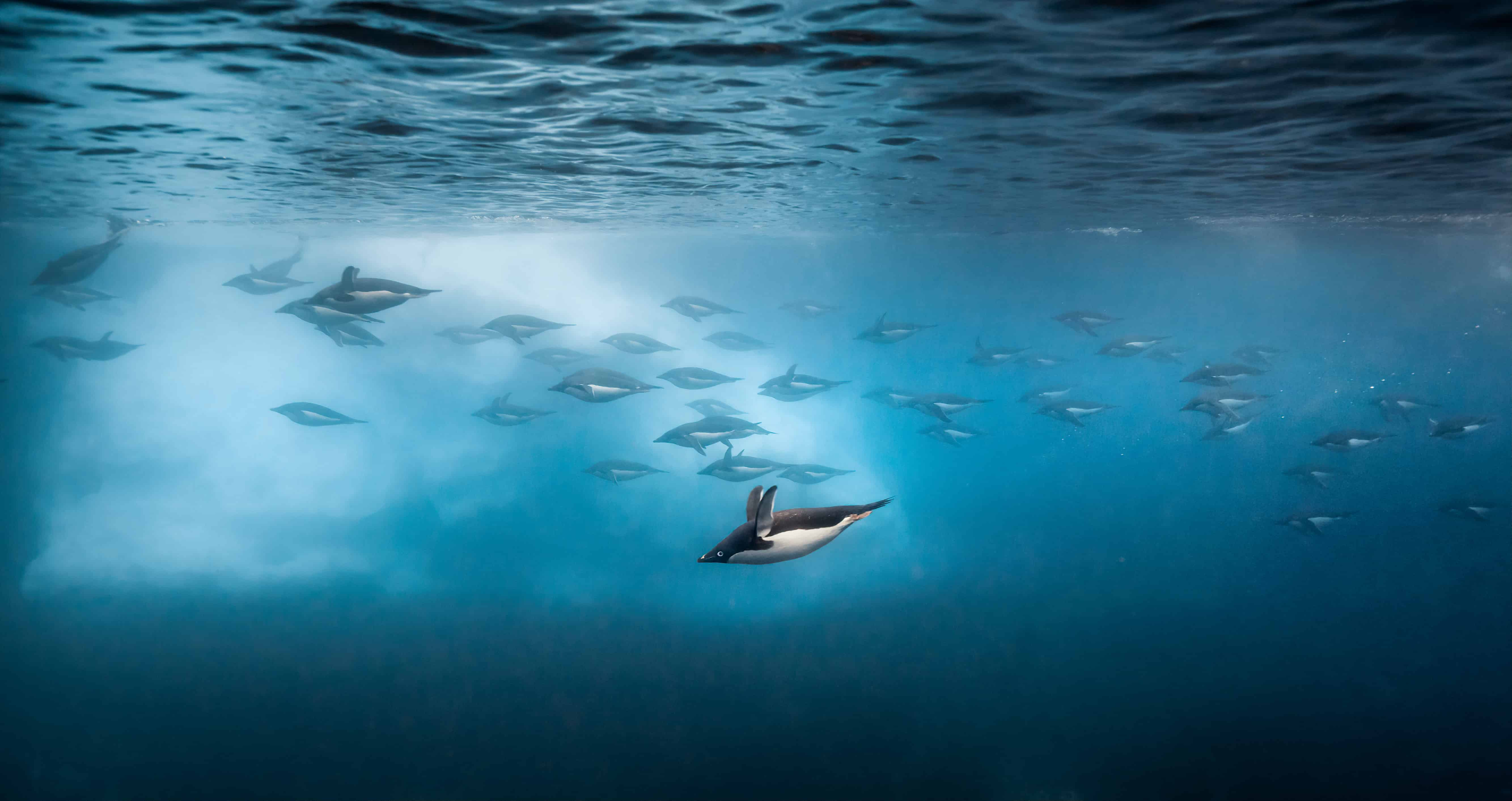 Adelie Penguins swimming under water