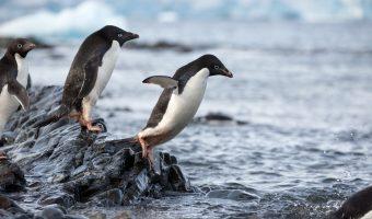 Penguins diving into waer