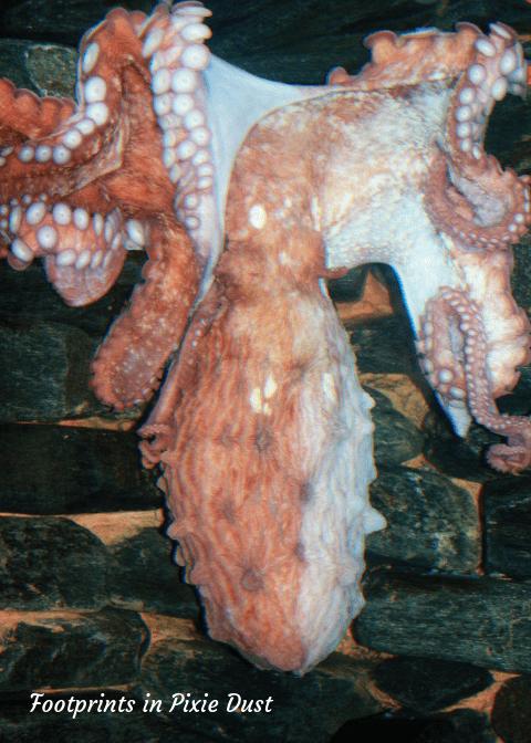 SeaWorld Orlando ~ Octupus in Manta Aquarium