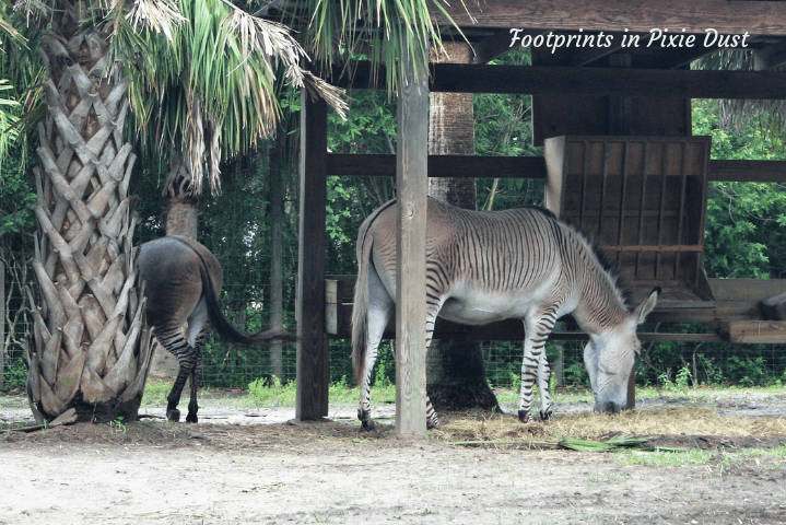 Wild Florida - A Zorse, of course