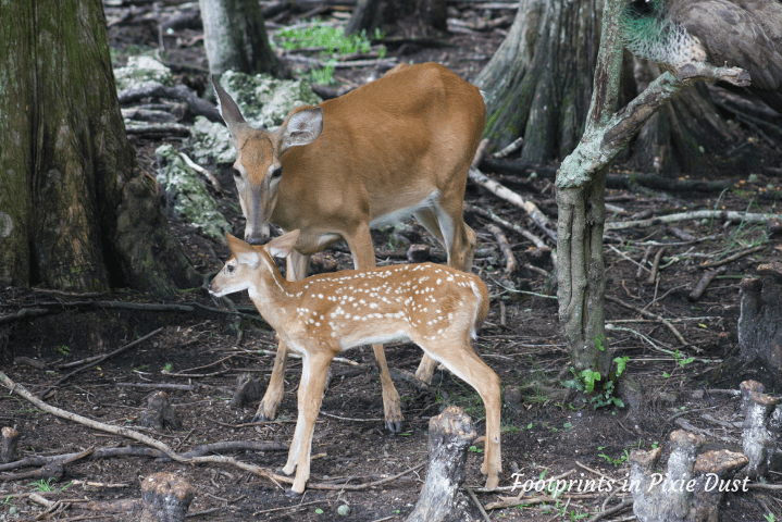 Wild Florida - A mother deer and her fawn
