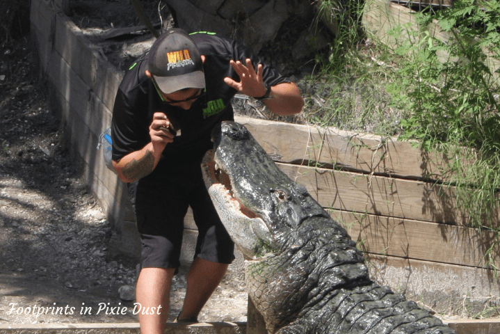 Wild Florida - Crocodile feeding time II