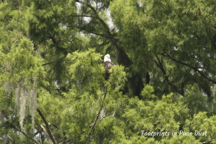 Wild Florida - Eagle spotting