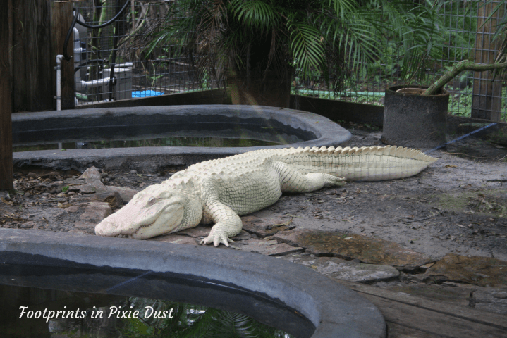 Wild Florida - albino alligator