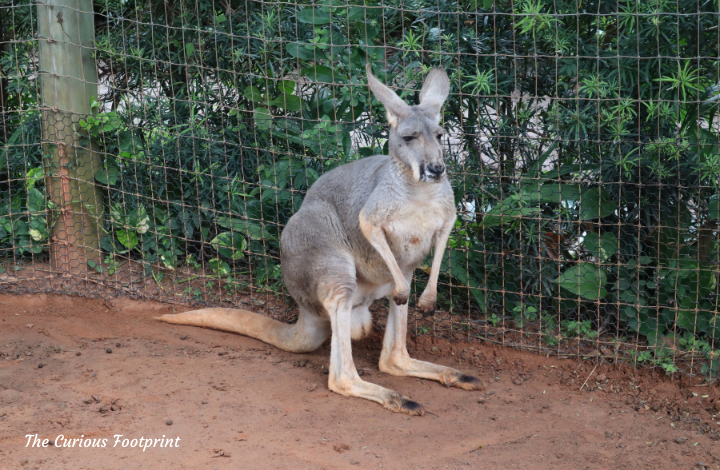 Busch Gardens Christmas Town 2020 - Kangaroo